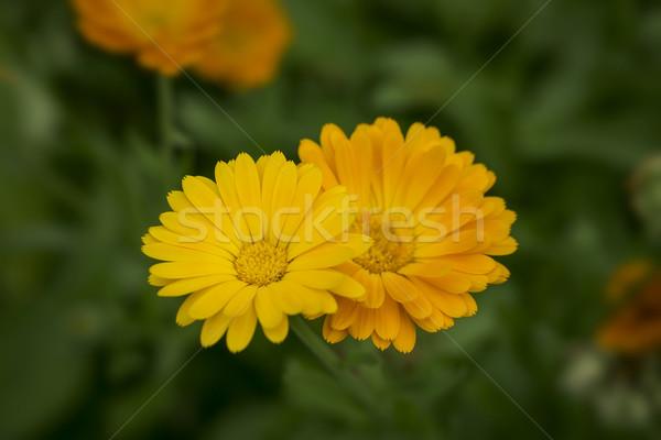 çift turuncu çiçekler bahçe çim çiçek Stok fotoğraf © SelenaMay