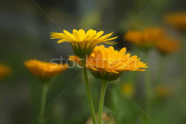 Zdjęcia stock: Pary · pomarańczowy · kwiaty · ogród · trawnik · kwiat