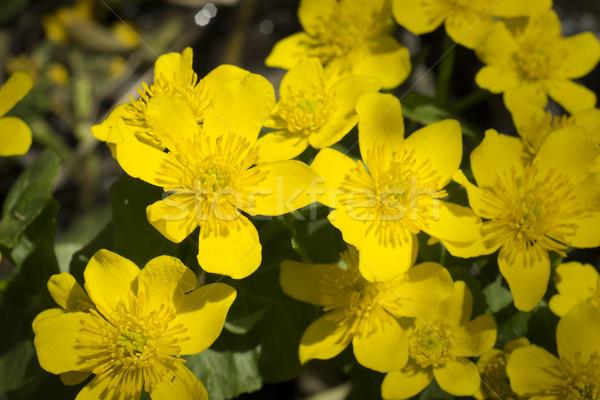 Sarı çiçekler çayır çiçek orman doğa arka plan Stok fotoğraf © SelenaMay