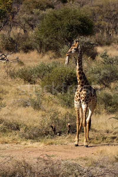 Girafe - Giraffa camelopardalis Stock photo © serendipitymemories