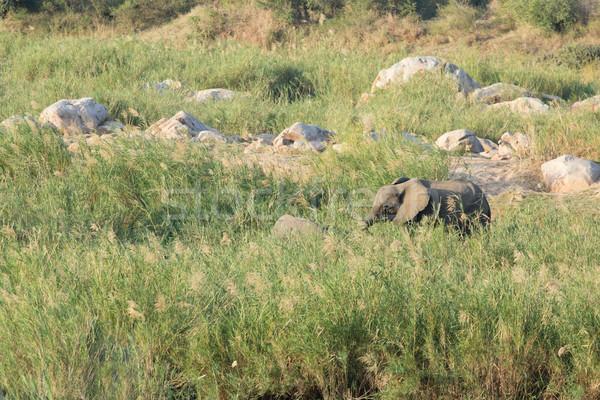 African elephant - Loxodonta africana Stock photo © serendipitymemories