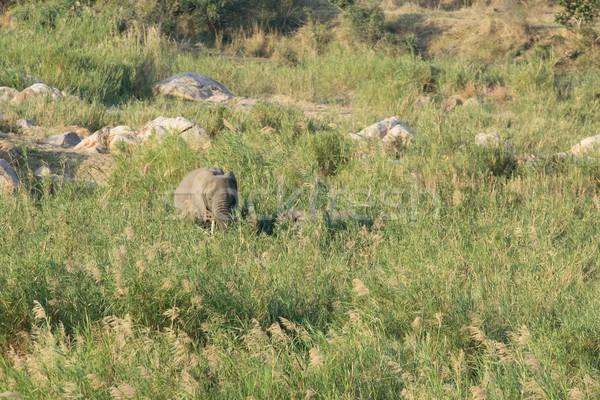 Stock photo: African elephant - Loxodonta africana