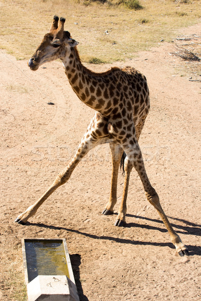 Girafe - Giraffa camelopardalis Stock photo © serendipitymemories