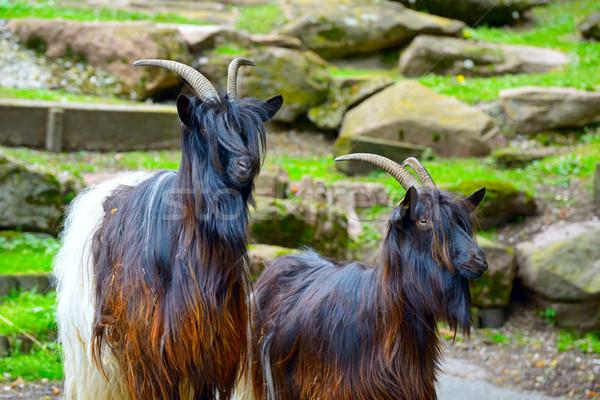 Család hegy kecskék park fű utazás Stock fotó © serg64