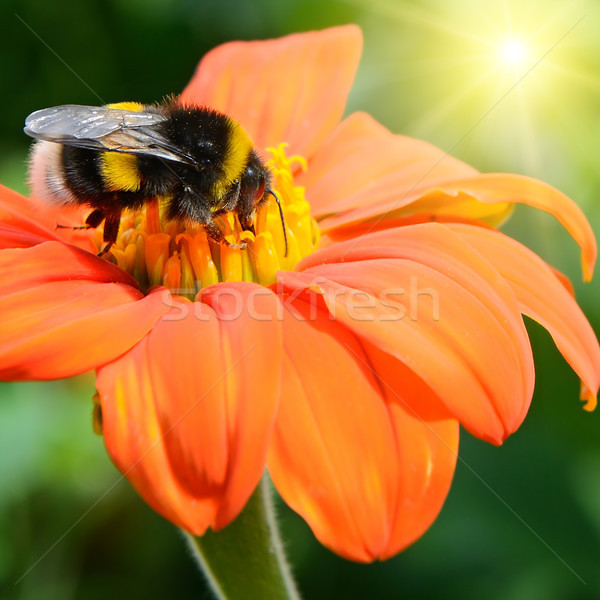 Bumble bee pollinating a flower Stock photo © serg64