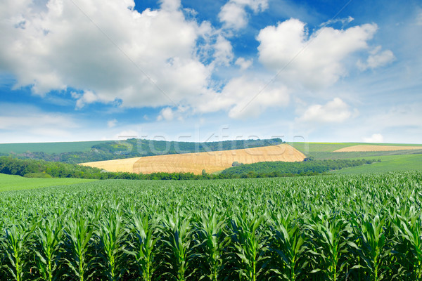 Corn field in the picturesque hills and white clouds in the blue Stock photo © serg64