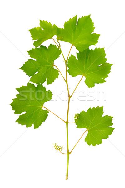 Stock photo: vine leaves