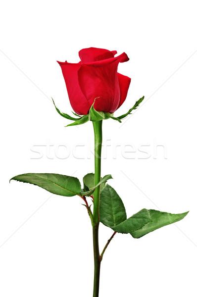 Beautiful red rose Stock photo © Serg64