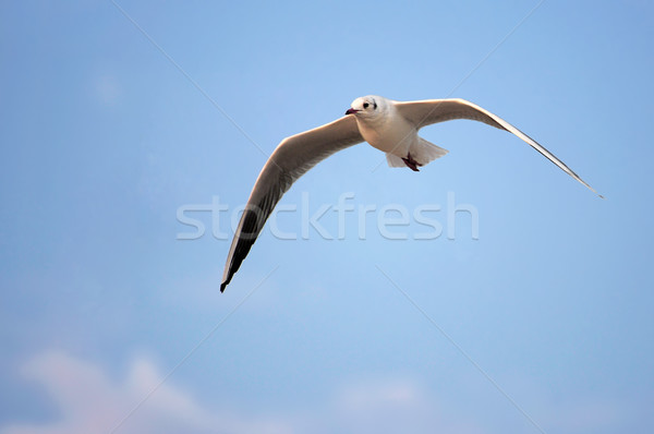 sea gull Stock photo © Serg64