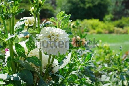 Beyaz dalya yaz park odak Stok fotoğraf © serg64