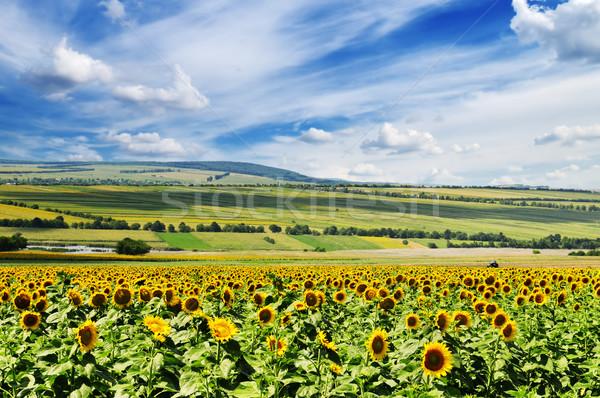 Girassol campo céu nuvens sol verde Foto stock © Serg64