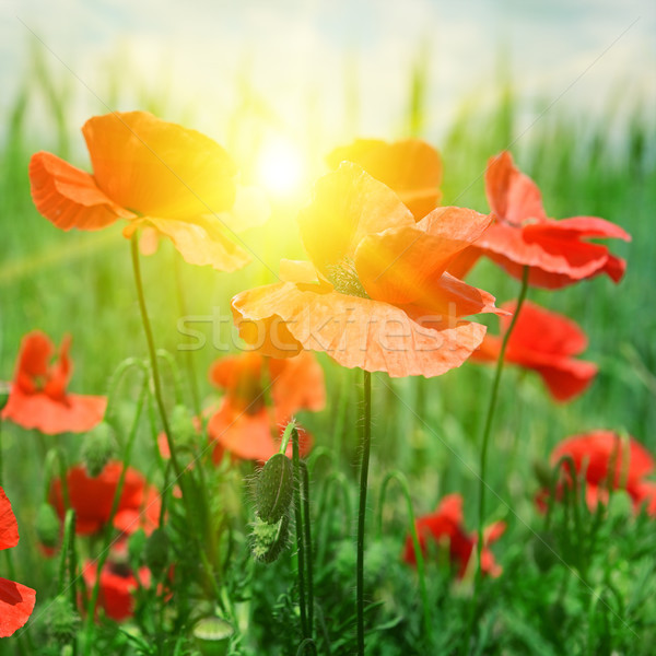 области Лучи солнце цветы весны Сток-фото © serg64