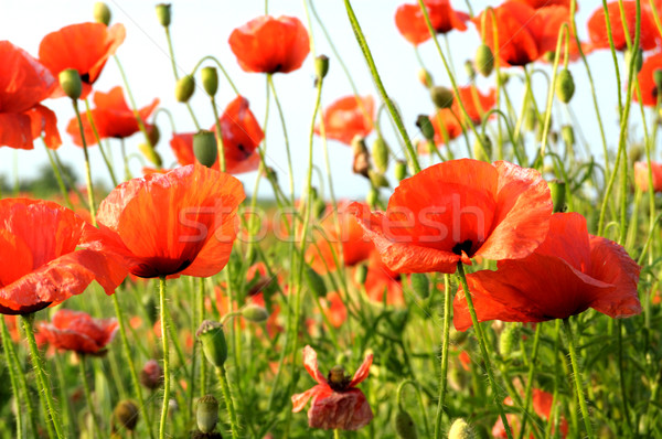 poppies Stock photo © Serg64