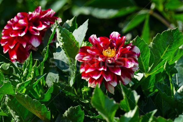 Piros dália virágágy nyár park virágágy Stock fotó © serg64