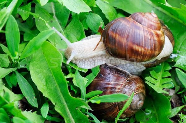 Commestibile lumaca erba estate verde divertimento Foto d'archivio © Serg64