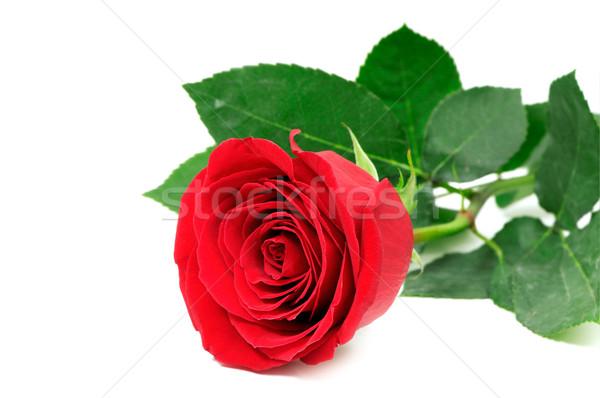red rose Stock photo © Serg64