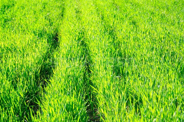 Zöld fű tavasz mező fű természet levél Stock fotó © Serg64