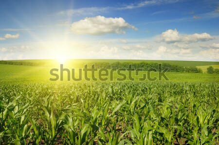 Mooie zonsondergang mais veld hemel wolken Stockfoto © serg64