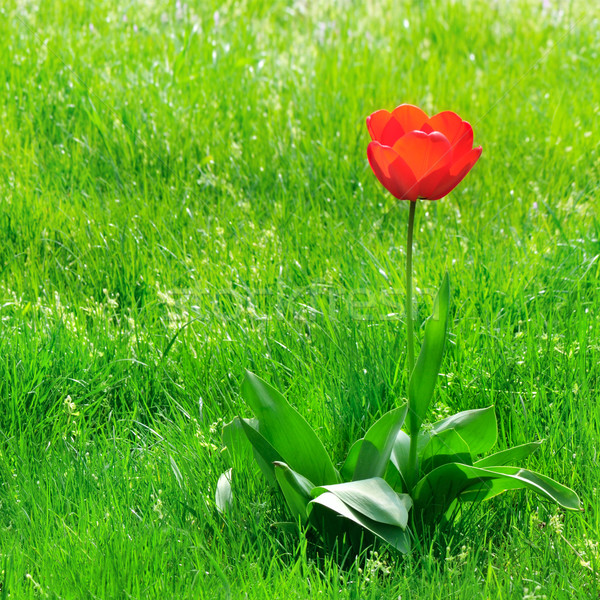 red  tulips on a green lawn Stock photo © Serg64