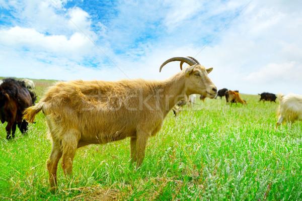 Sereg házi kecskék testtartás tavasz fű Stock fotó © serg64