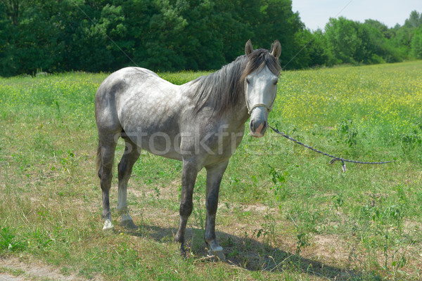 Home horse on a green field Stock photo © serg64