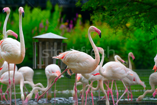 flock of flamingos on lake Stock photo © serg64