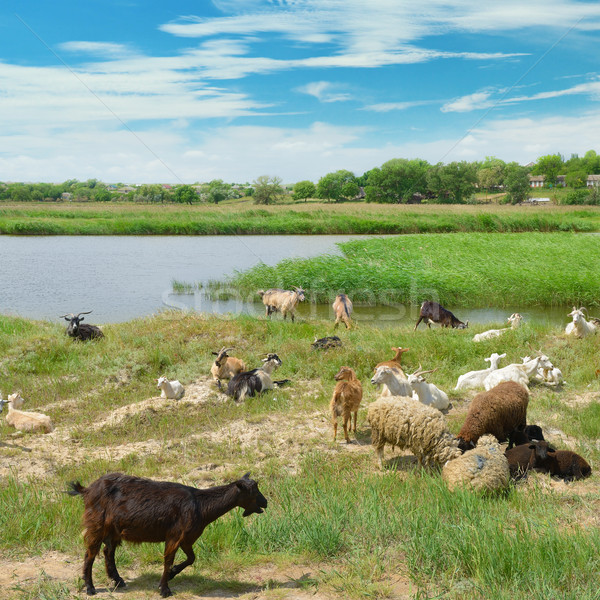 Herd of goats on the lake Stock photo © serg64