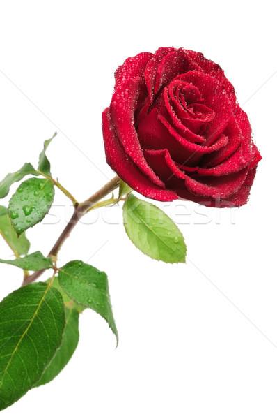 Сток-фото: красную · розу · дождь · капли · изолированный · белый · цветок
