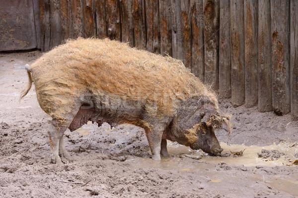 Volwassen vuile varken haren moeder Stockfoto © Serg64