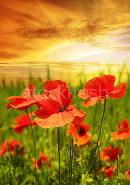 Pipacsok mező sugarak nap virág fű Stock fotó © serg64