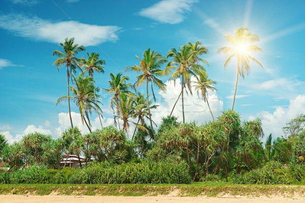 Coconut palms lit bright sun Stock photo © serg64