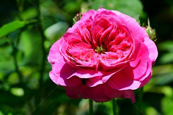 Rosa vermelha canteiro de flores foco flor rosa folha Foto stock © serg64