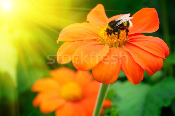 Stok fotoğraf: Arı · çiçek · gün · batımı · yaz · yeşil · yatak