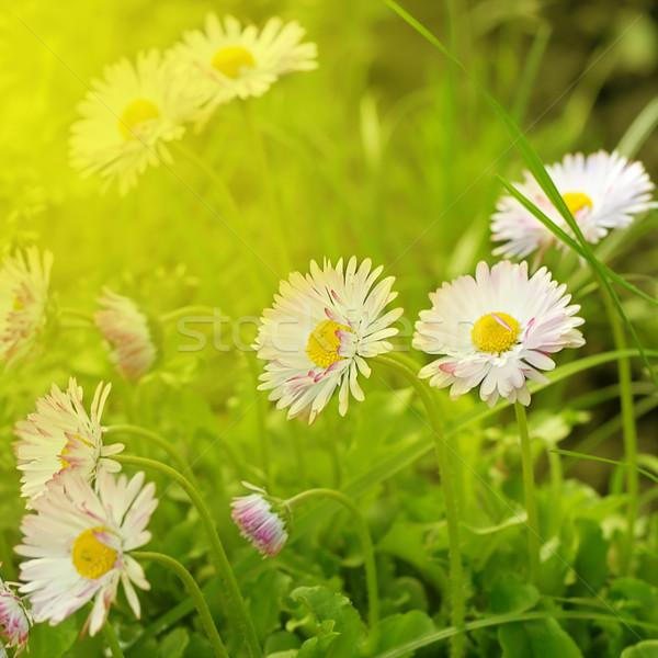 Güzel çiçek rays güneş gün batımı ışık Stok fotoğraf © Serg64
