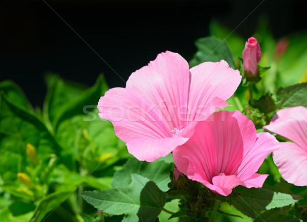 Hermosa flor rosa flor naturaleza hoja Foto stock © serg64