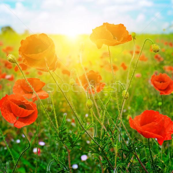 Fényes napfelkelte pipacs mező piros pipacsok Stock fotó © serg64