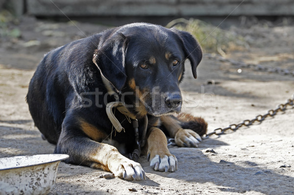 Big old dog on chain Stock photo © serg64