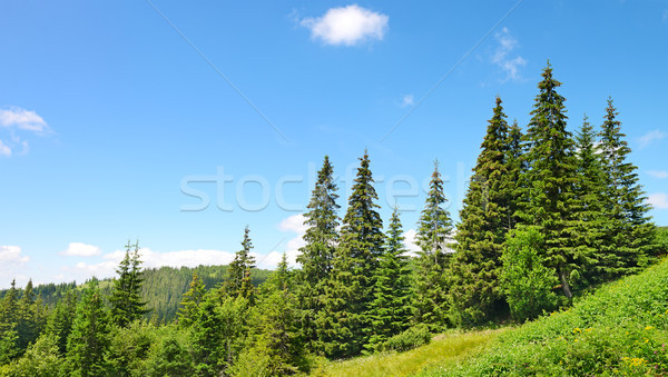 Beautiful pine trees Stock photo © serg64