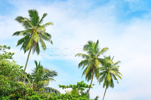 high palm on background of blue sky Stock photo © serg64