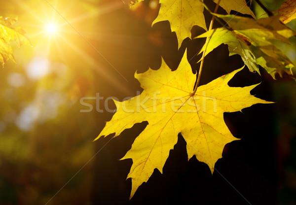ősz juharlevél nap fa absztrakt naplemente Stock fotó © serg64