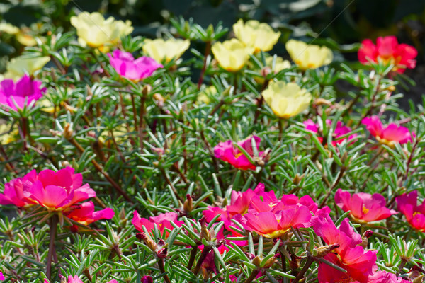 Bright flowers purslane in the flowerbed in the park. Focus on t Stock photo © serg64