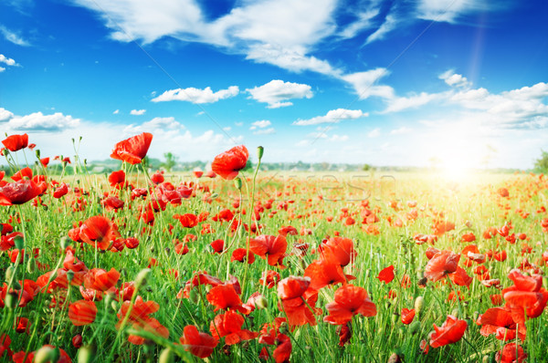 Stockfoto: Klaprozen · veld · stralen · zon · hemel · bloem