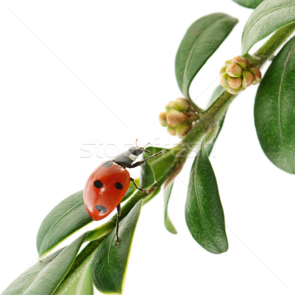 Uğur böceği yeşil yaprak yalıtılmış beyaz bahar çim Stok fotoğraf © serg64