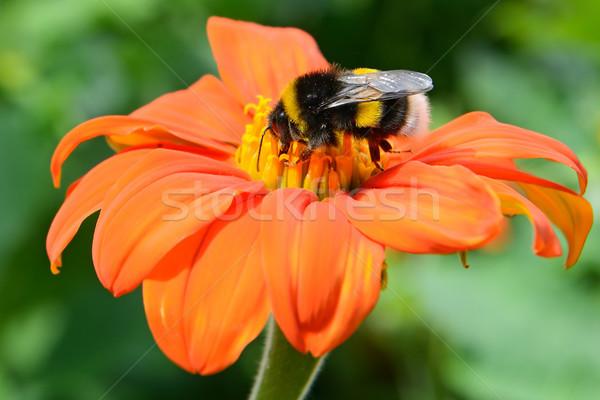 Bumble bee on flower Stock photo © serg64