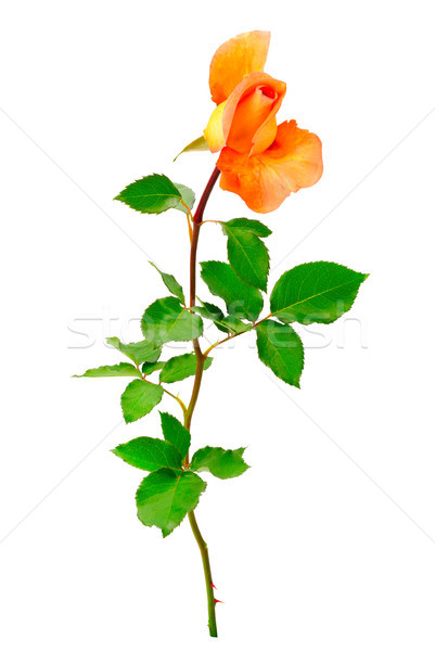 Yellow rose with green leaves isolated on white Stock photo © serg64