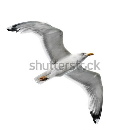 鴎 孤立した 白 空 自然 光 ストックフォト © Serg64