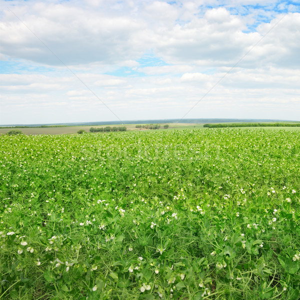 Pea field and blue sky Stock photo © serg64
