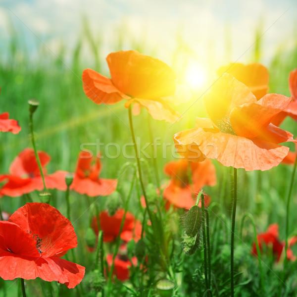 Stockfoto: Klaprozen · veld · stralen · zon · bloemen · voorjaar