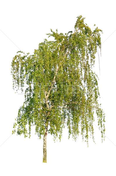 Fehér nyírfa izolált tavasz levél fák Stock fotó © Serg64