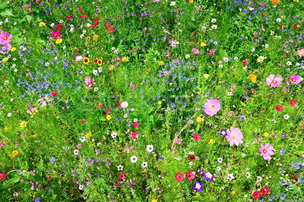 Flores silvestres hierba jardín fondo verano verde Foto stock © Serg64
